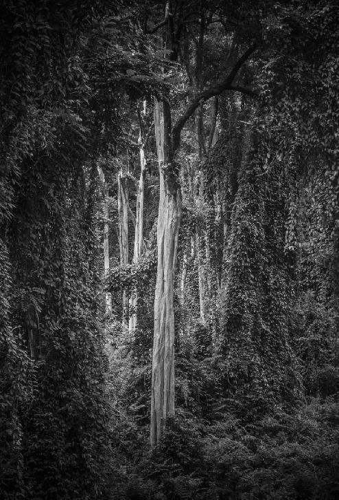 Tree, Hawaii by David T. Dennard