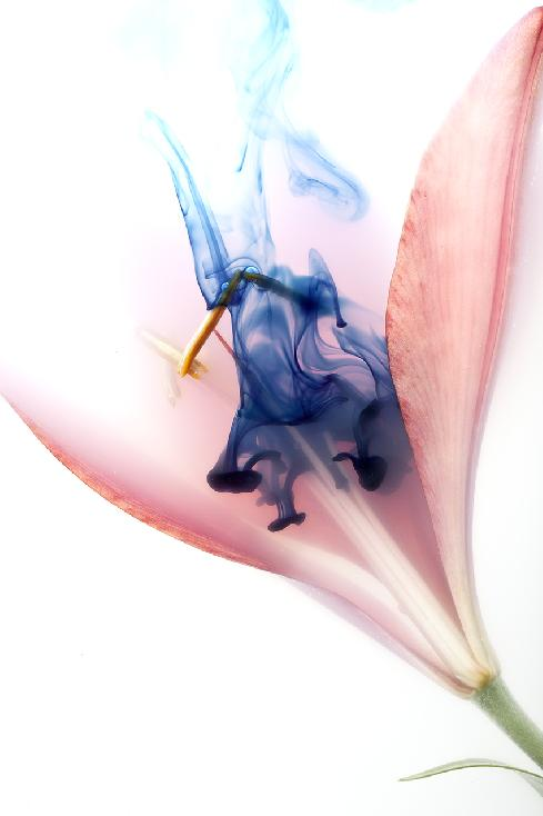Pink Lily with Blue by Bruce Van Valen