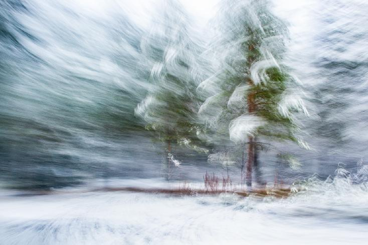 Pines With Snow by Dag Røttereng