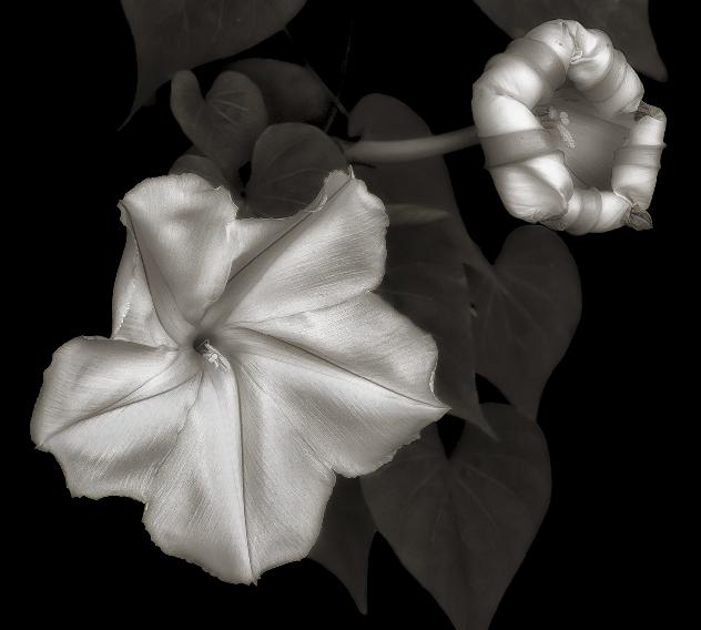 Moonflowers by Don Rice