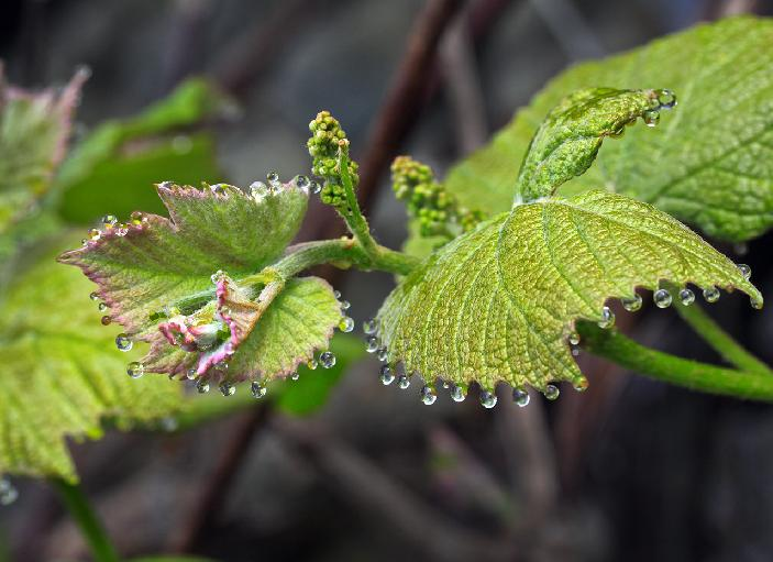 misty morning grapes vines by Janet Labelle